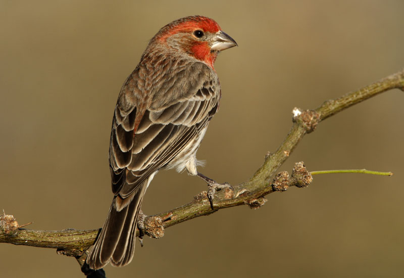 Des Moines Feed & Nature Center - Facts About House Finches